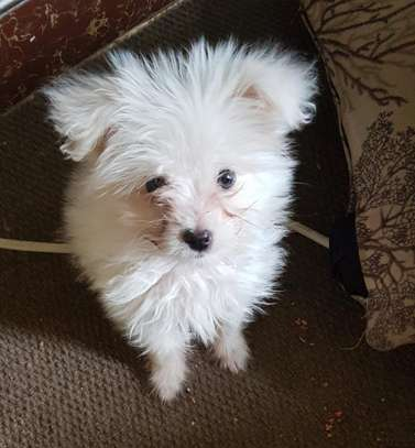 Terrier puppy for sale.