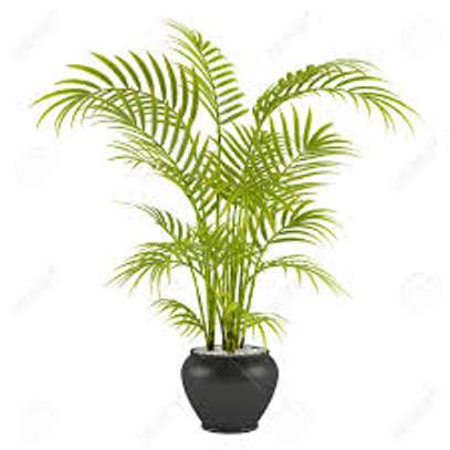 Majestic Palms for Indoor and outdoor decoration, snake plants, in Nairobi image 7