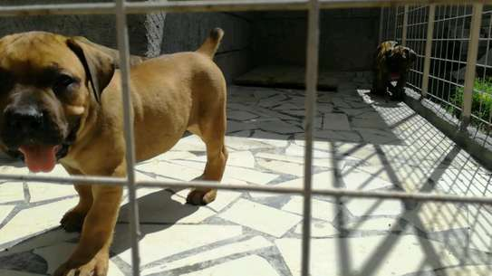 Boerboel Puppies for sale.