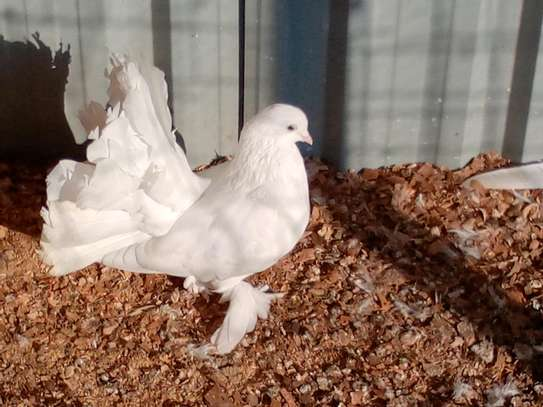 Fantail pigeons image 2