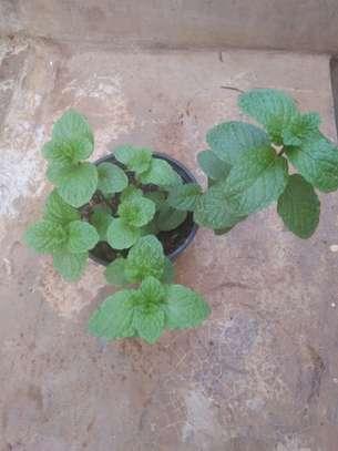 Organic Mint Herb image 1