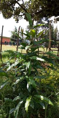 Indigenous Tree seedlings -