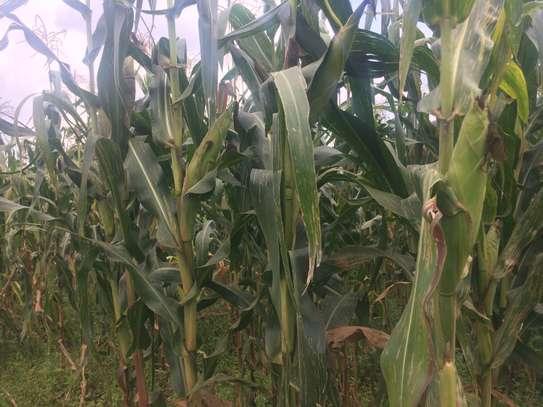 10 Acres For sale in Nangili Likuyani sub county of Kakamega image 1