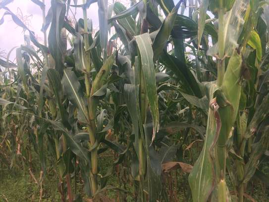 61 Acres For sale in Nangili Likuyani sub county of Kakamega