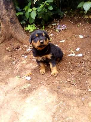 Rotweiller puppies available