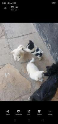 Long coated Japanese Spitz discounted offer image 1
