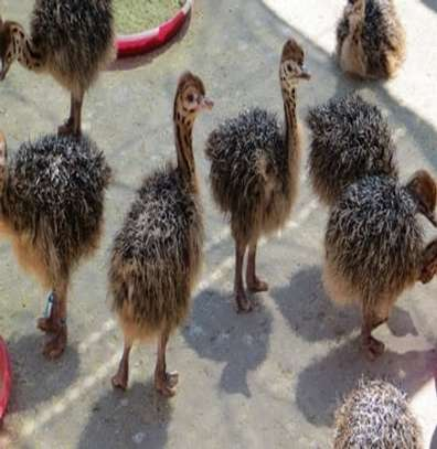 Ostrich chicks and fertile eggs image 1