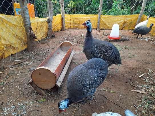 Guinea Fowls image 3