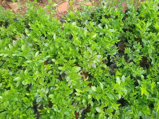 Green Duranta image 1