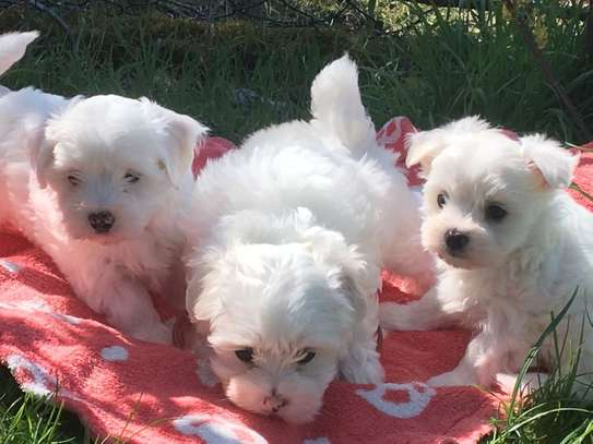 Lovely Maltese Puppies For Sale image 1