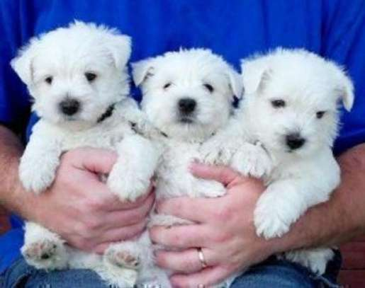 West Highland Terrier Puppies. image 1
