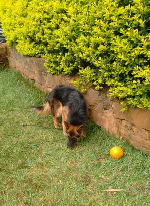 Male gsd longcoat available