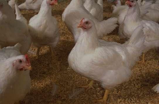 Big healthy Broiler Chicken 1.5kg image 1