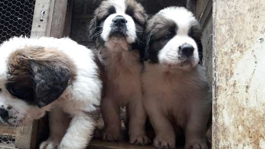 St. Bernard Puppies for sale.