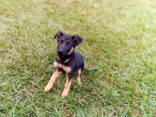 Gsd puppy available