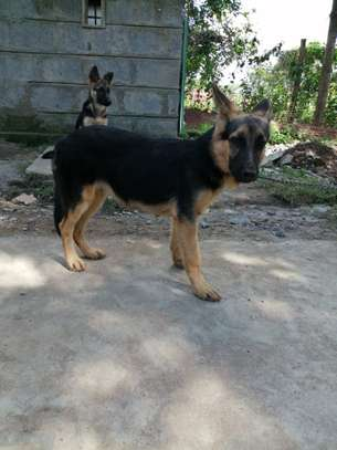 Purebred German Shepherd male Puppies for sale