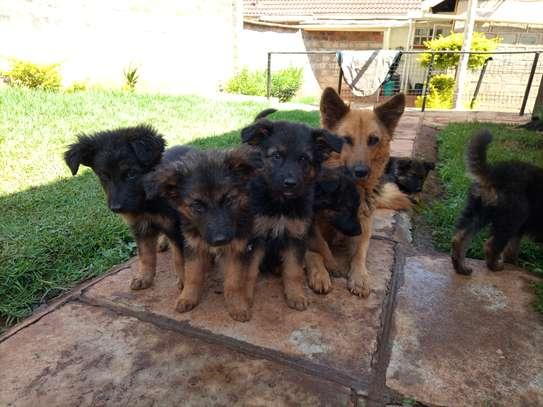 Long Coat German Shepherd Puppies image 5