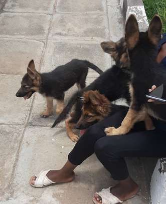 German Shepherd (Puppies) for sale. image 2