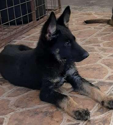Bicolor German Shepherd Puppy