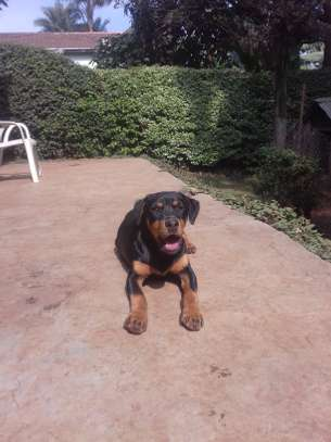 4 month old Rottweiler puppies