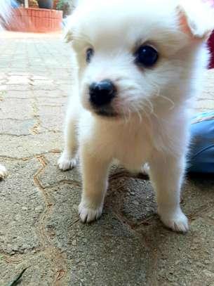 Japanese Spitz puppy image 1