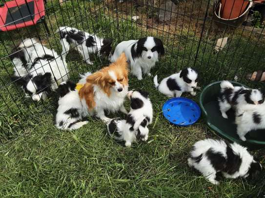 Papillon Puppies for sale. image 1