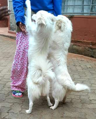 Japanese Spitz puppy image 2