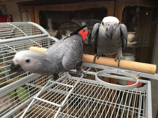 A Pair of Talking African Grey Parrots image 1