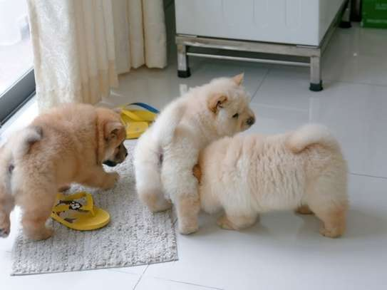 Super Adorable AKC chow chow puppies
