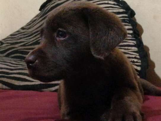 Pedigree Female Chocolate Labrador Puppy image 6