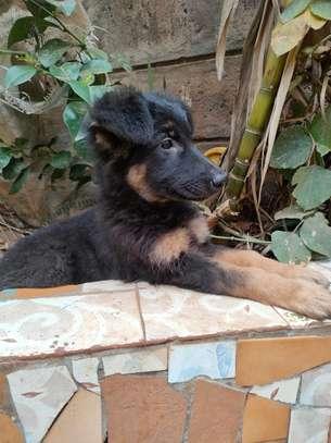 Female German shepherd puppy image 1