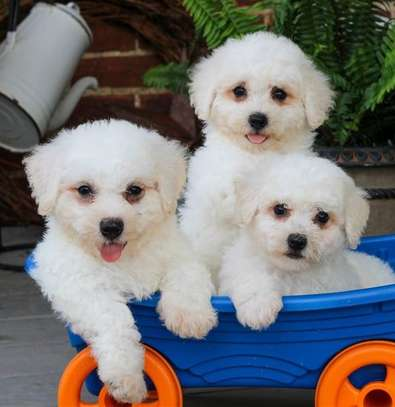 Bichon-frise Puppies ready to go now image 1