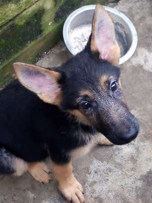German Shepherd Puppies image 2