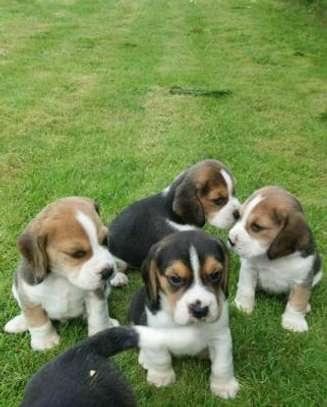Beautiful Beagle Pups Available image 1