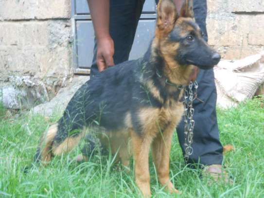 Gsd ready for a new home