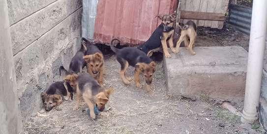German shepherd puppies image 2