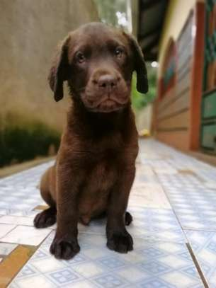 Pedigree Female Chocolate Labrador Puppy image 9