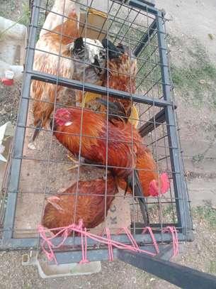 Big cocks image 2