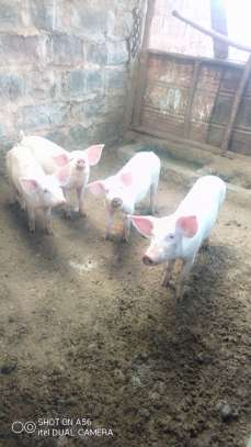 Pig image 3