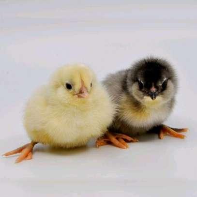 One Day Old Kienyeji Chicks Ksh.99 image 1