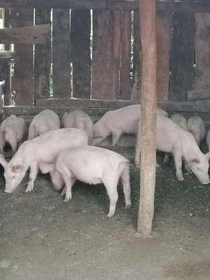 Piglets image 3