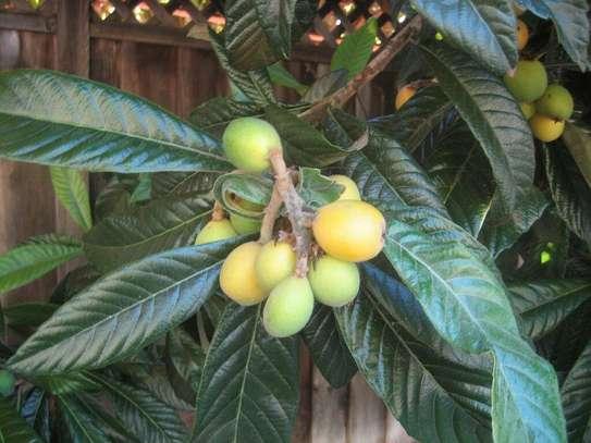 Loquat Fruit tree image 1