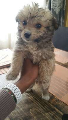 Terriers puppies for sale.