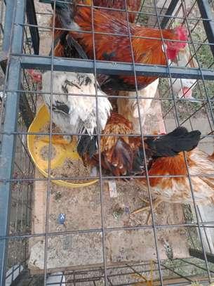 Big cocks image 3