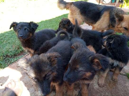 Long Coat German Shepherd Puppies image 4