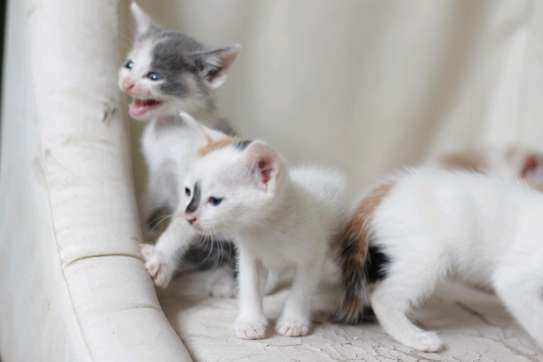 White young kittens