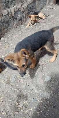 German shepherd puppies image 4