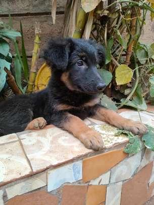 Female German shepherd puppy image 2