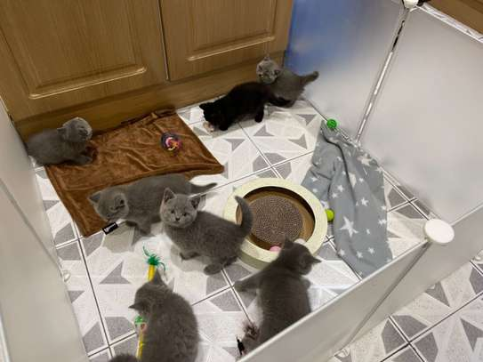 Top Quality British Shorthair Kittens Ready To Go image 1