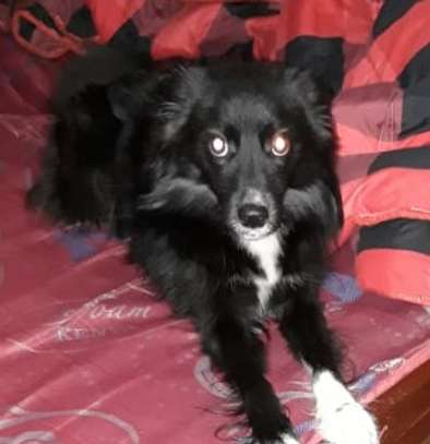 Spitz-dog type for sale.